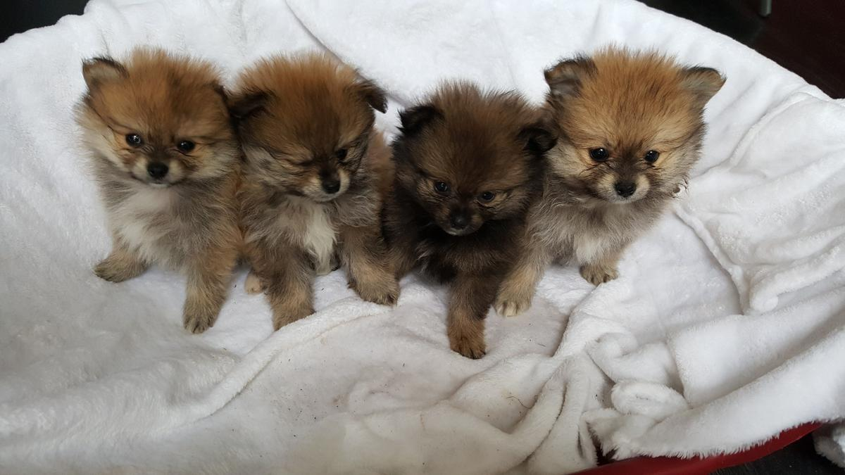 Pomeranian puppies for sale in South Staffordshire for