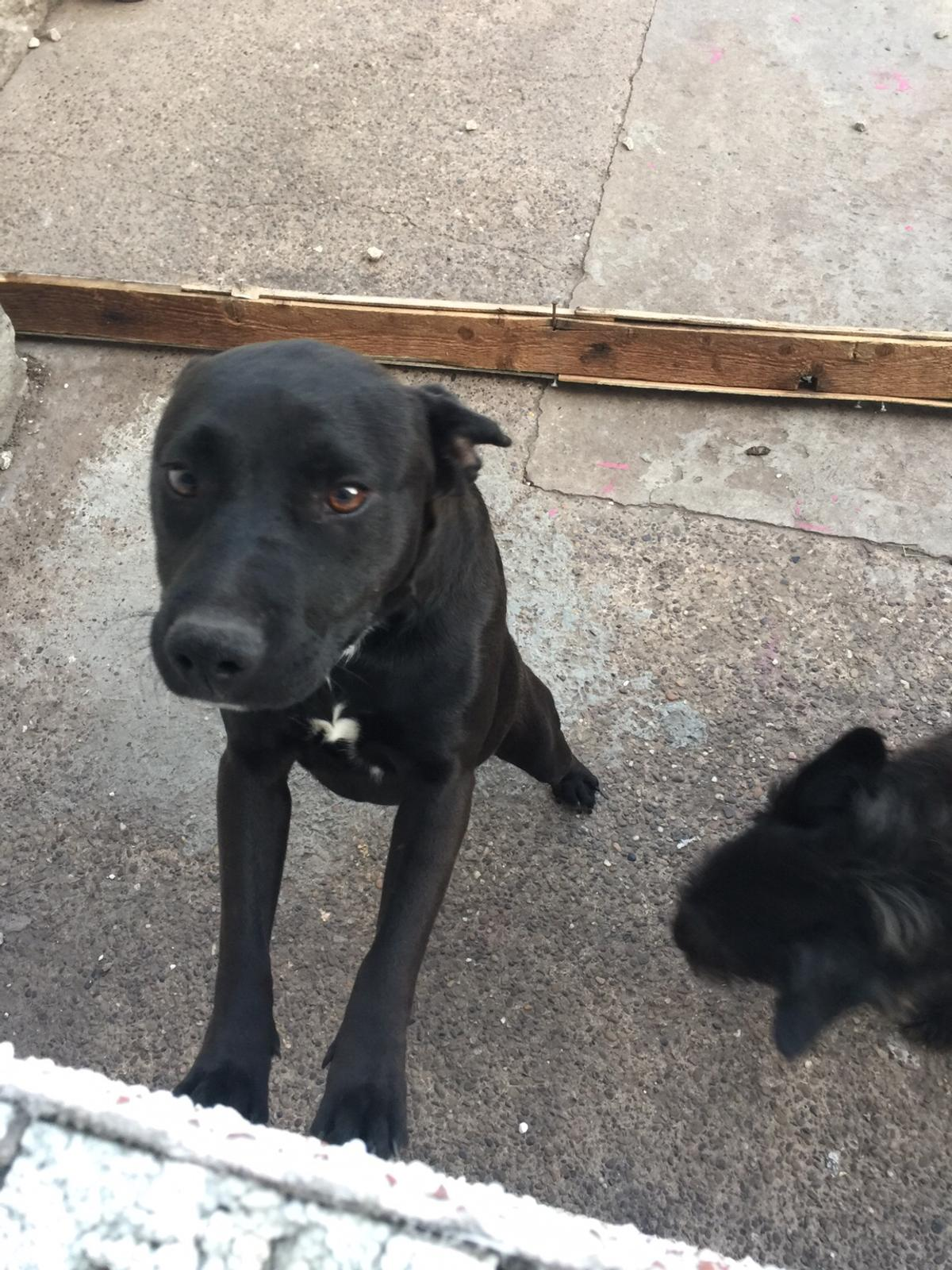 Staffy Patterdale In Dn7 Doncaster For 65 00 For Sale Shpock
