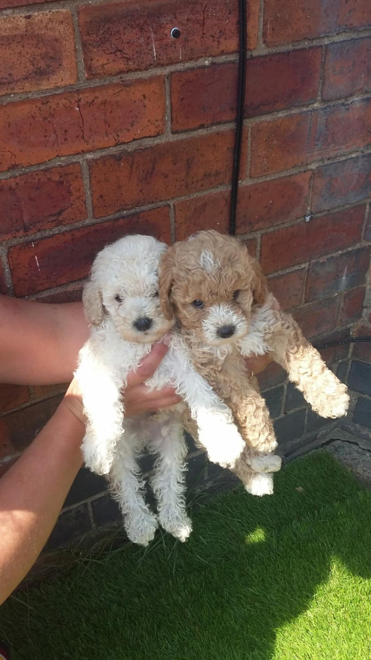 Toy Poodle Puppies In De13 Staffordshire For 850 00 For Sale Shpock