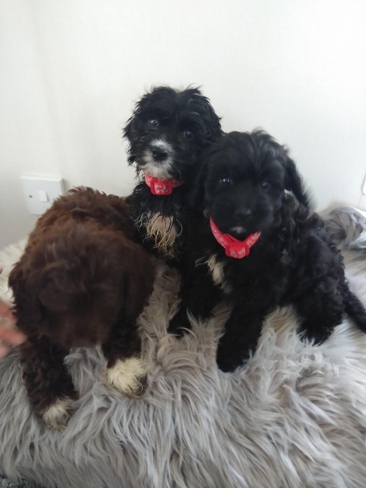 F1 Cockapoo Puppies In S20 Sheffield For 700 00 For Sale Shpock