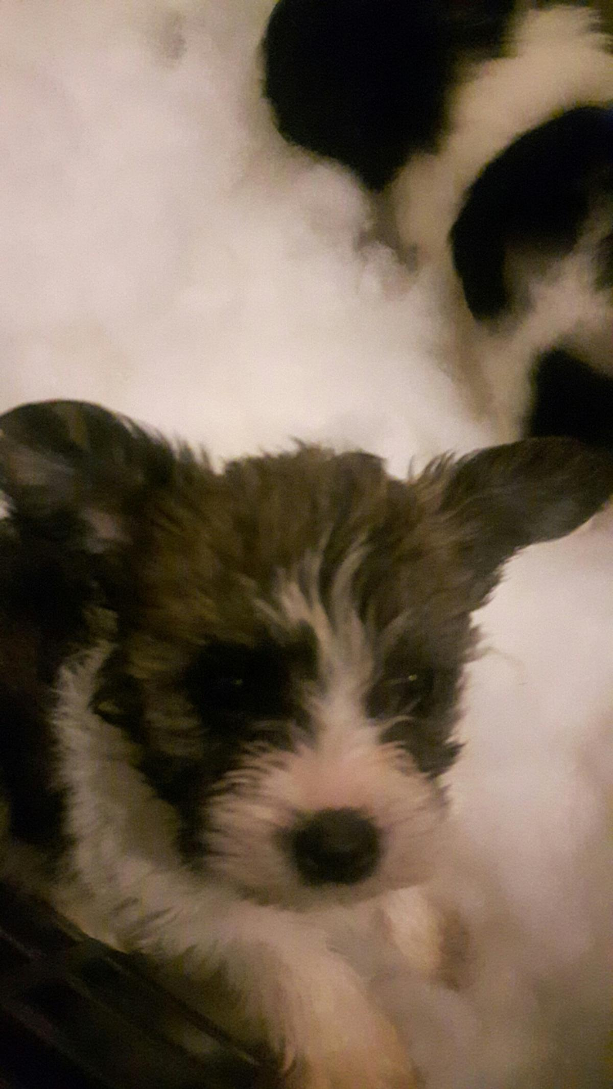Shorkie Puppies In Dn21 Lindsey For 350 00 For Sale Shpock