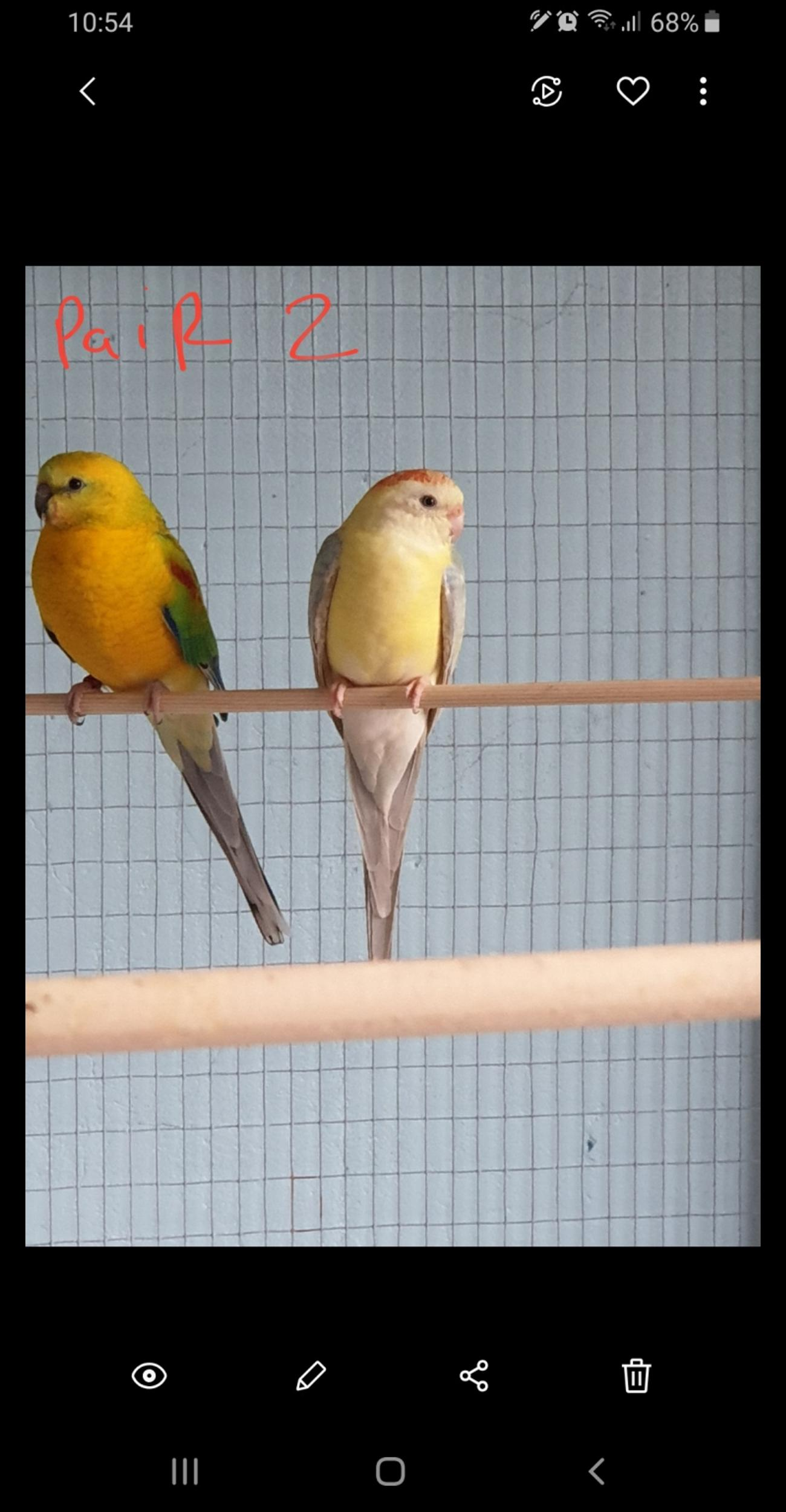 I'm selling my 2 pairs or red rumps I no longer have the space for them I would prefer to sell the 2 pairs together no offers £45 a pair or both for £80 I would consider a swap for exotic finches ie: gouldians, star,owl,parrot