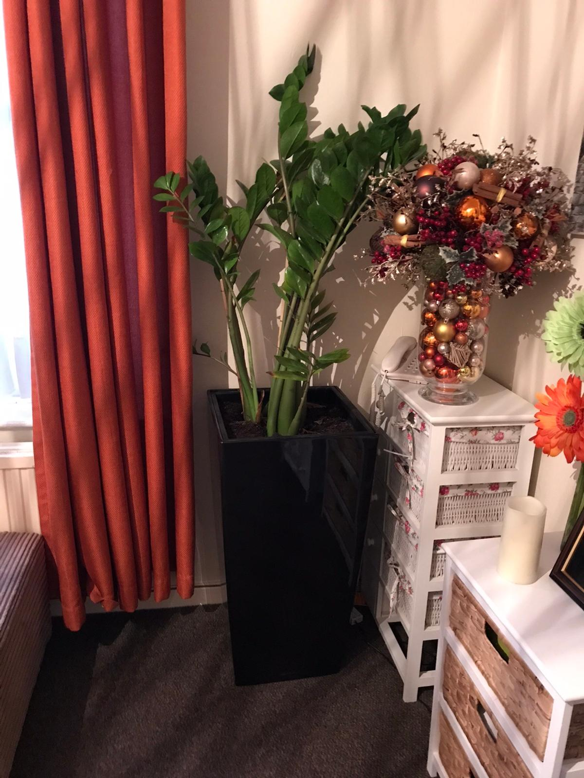 Over 5ft indoor plant with fibre glass pot included worth over £150 looking for £40 Collection hanwell w7