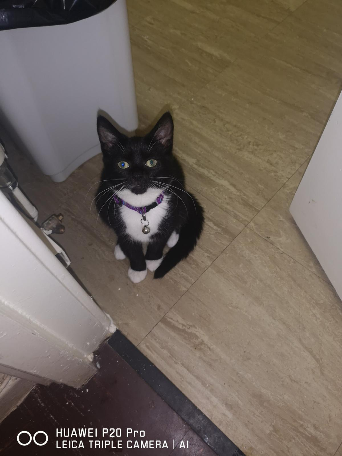 kitten for sale female. uses her litter tray and is good with dogs , very playful and affectionate , £30 no offers