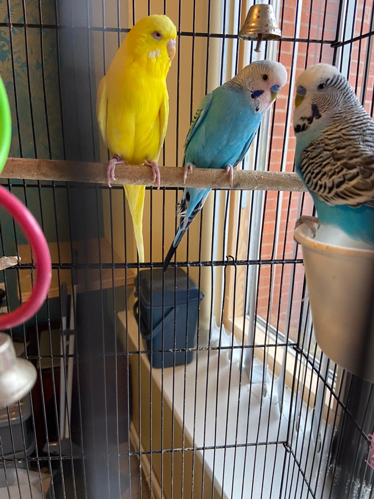 Budgie bird x 3 and full size CAGE with toys  What you see is what you get. 3 Birds and a lovely sturdy cage.  £20 per bird x 3 = £60  ONLY: £20 for cage  Would like to sell together.  1 couple, and 1 blue bird single