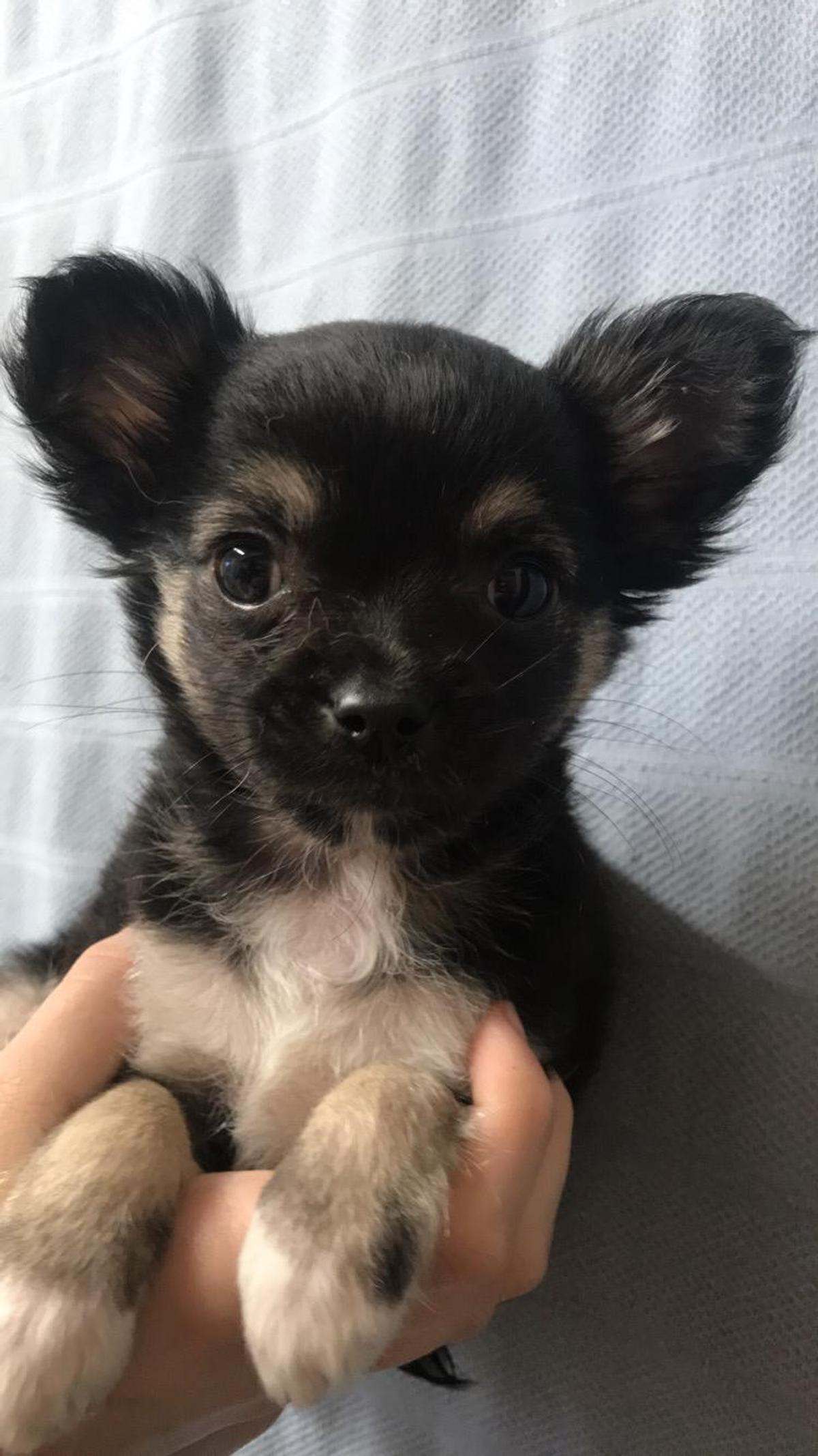 Long Haired Chihuahua Puppies In Salford For 400 00 For Sale Shpock