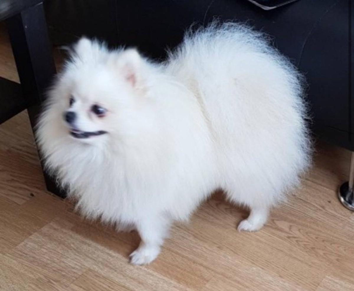 Russian Pomeranian Puppies White Parti Pom In S63 Barnsley For 950 00 For Sale Shpock