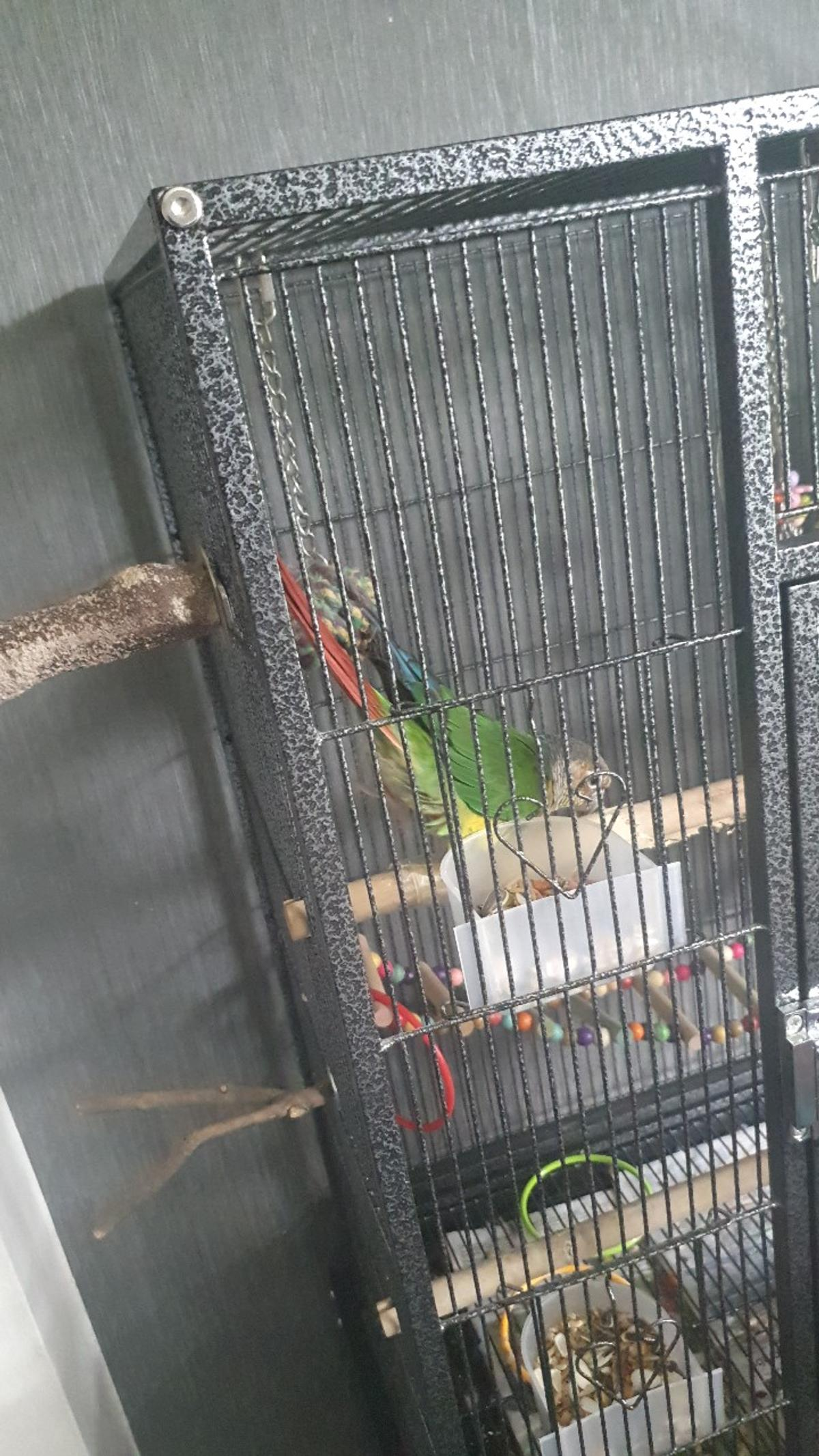 here is freddie, he likes to play football, he likes to dance to music and ringtones, he is very hand tame, he likes to walk around and sit on your shoulder he does talk in your ear he says give a kiss, whats up, hello, and copies your laugh comes with cage toys and some food