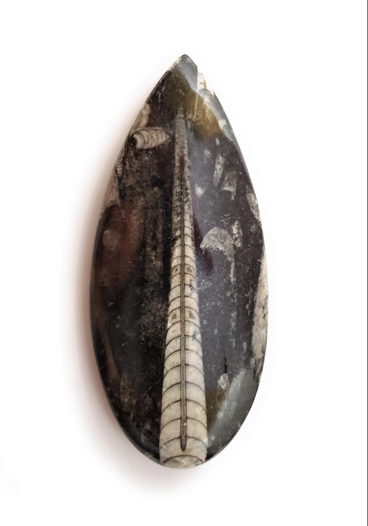 """(Please tap or click on the large photo above to view the entire image) -- Genuine 4.5"""" Polished Orthoceras Fossil. This fossil was found in Morocco and has been smoothed and polished on one side for a beautiful shine. This fossil is approximately 450 million years old!"""