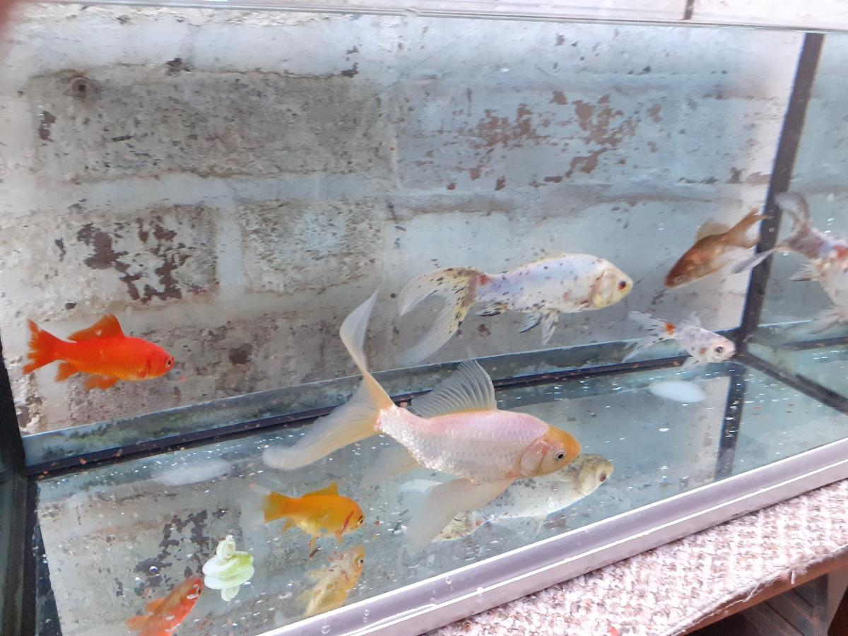 Gold Fish for sale. A mixture of small and large. £25 take all. All healthy and eating well. Worth more than asking price but unfortunately have to go.