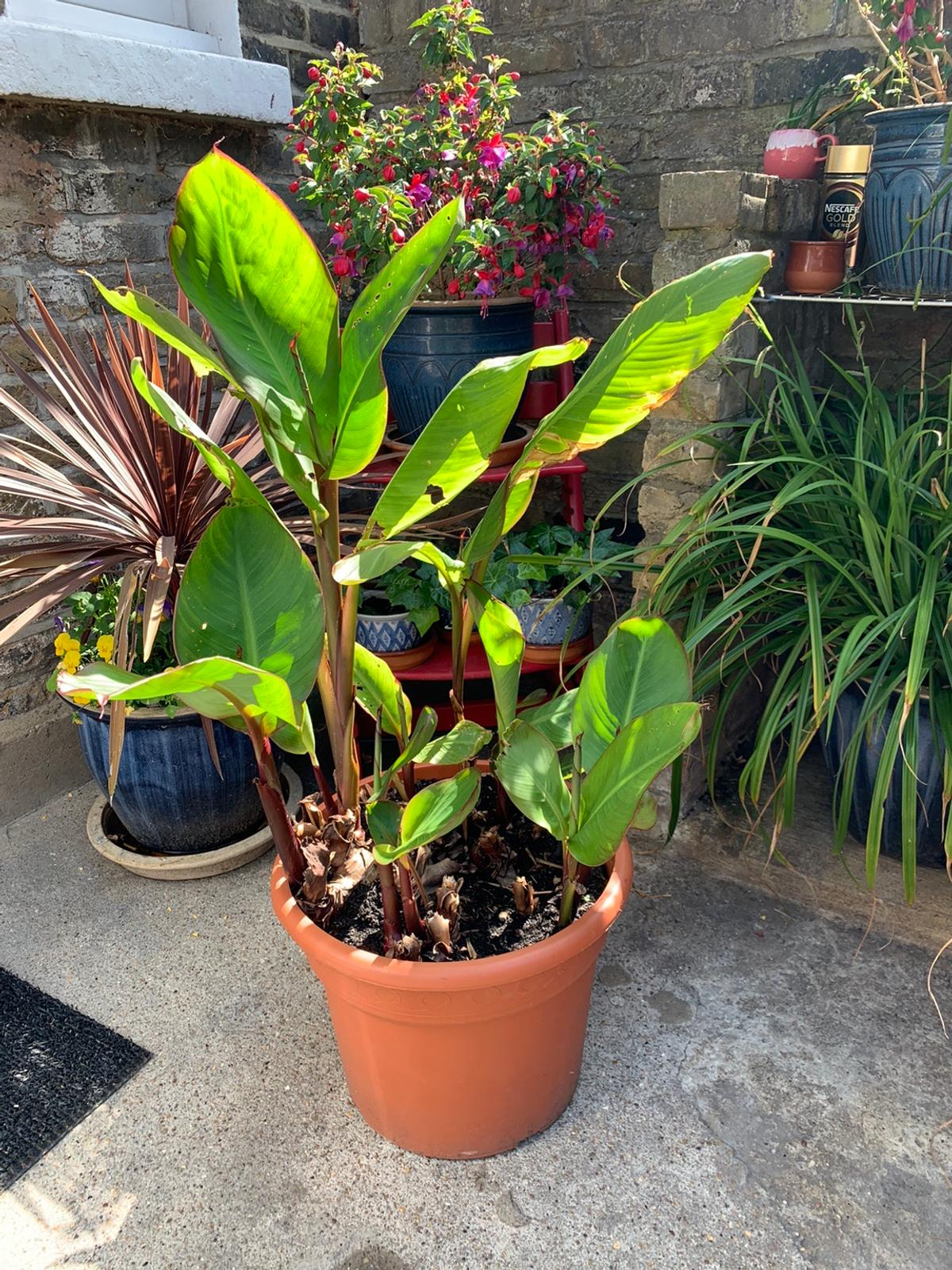 Beautiful Cannas plants for sale pot included...it will grow up to 2 metres. It grows every year!