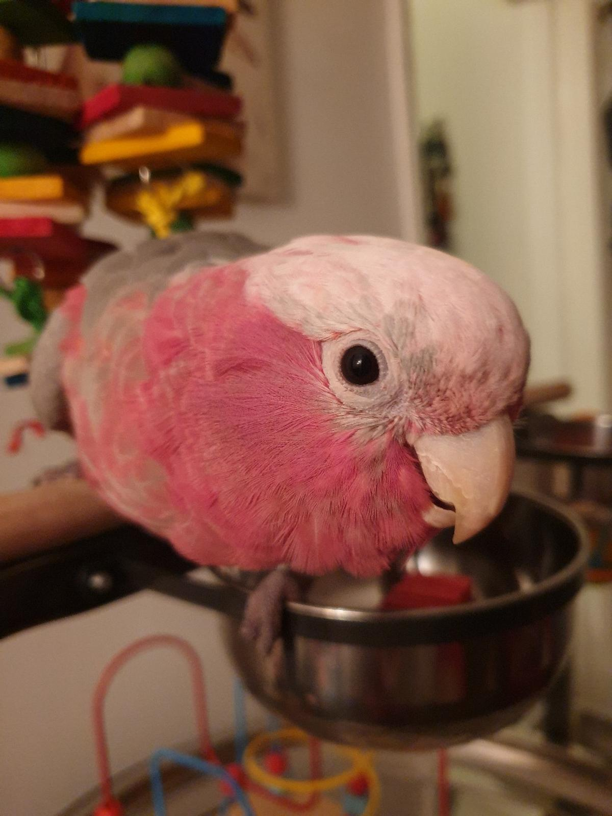 tame young galah cockatoo 12 months old talks loads likes men will go to women when he feels like will swap for a tame parrot that likes women