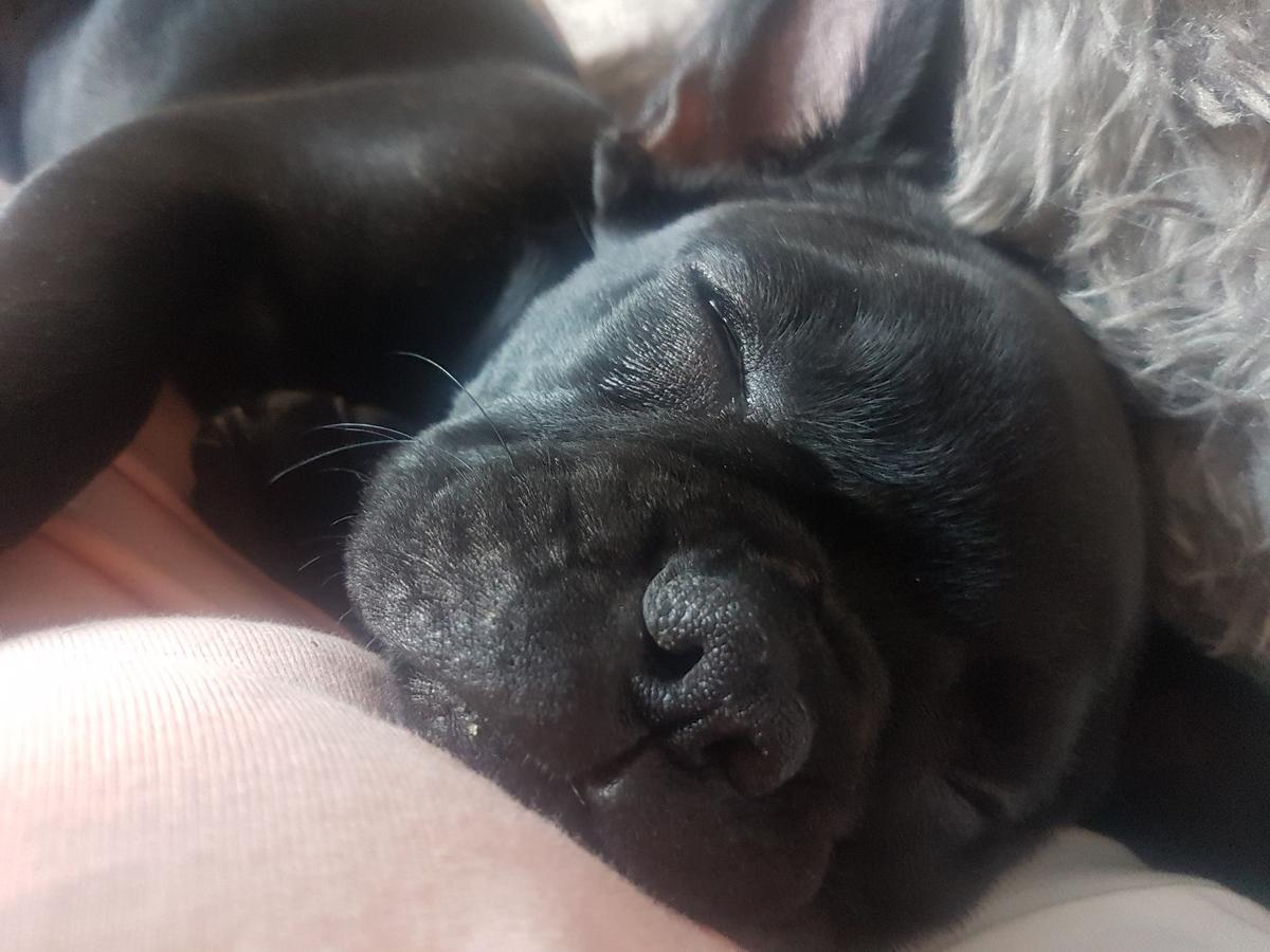 with a very sad heart im having to sell my french bulldog gucci she a beautiful dog great with kids not good with cats or other dogs up to date with jabs and micro chipped shes also full pedigree with kc papers