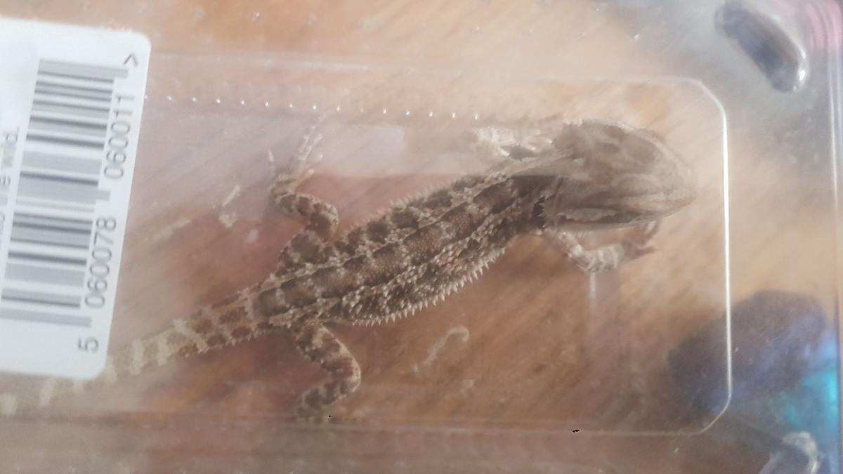 baby bearded dragons normal scale and leatherbacks citrus split aswell. eating and doin every thing they should