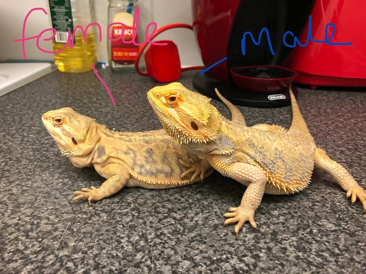 Selling two bearded dragon one male and one female. Female is a leatherback morphs and the male is a standard morphs selling due to not having the time for them, Looking for a forever home they are siblings and 1 1/2 years old looking for £50 each (ask for more info just ask) collection only