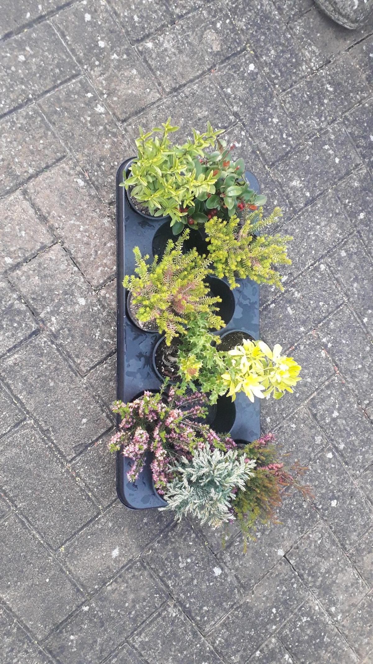 10 mixed garden shrubs high quality potted plants £10