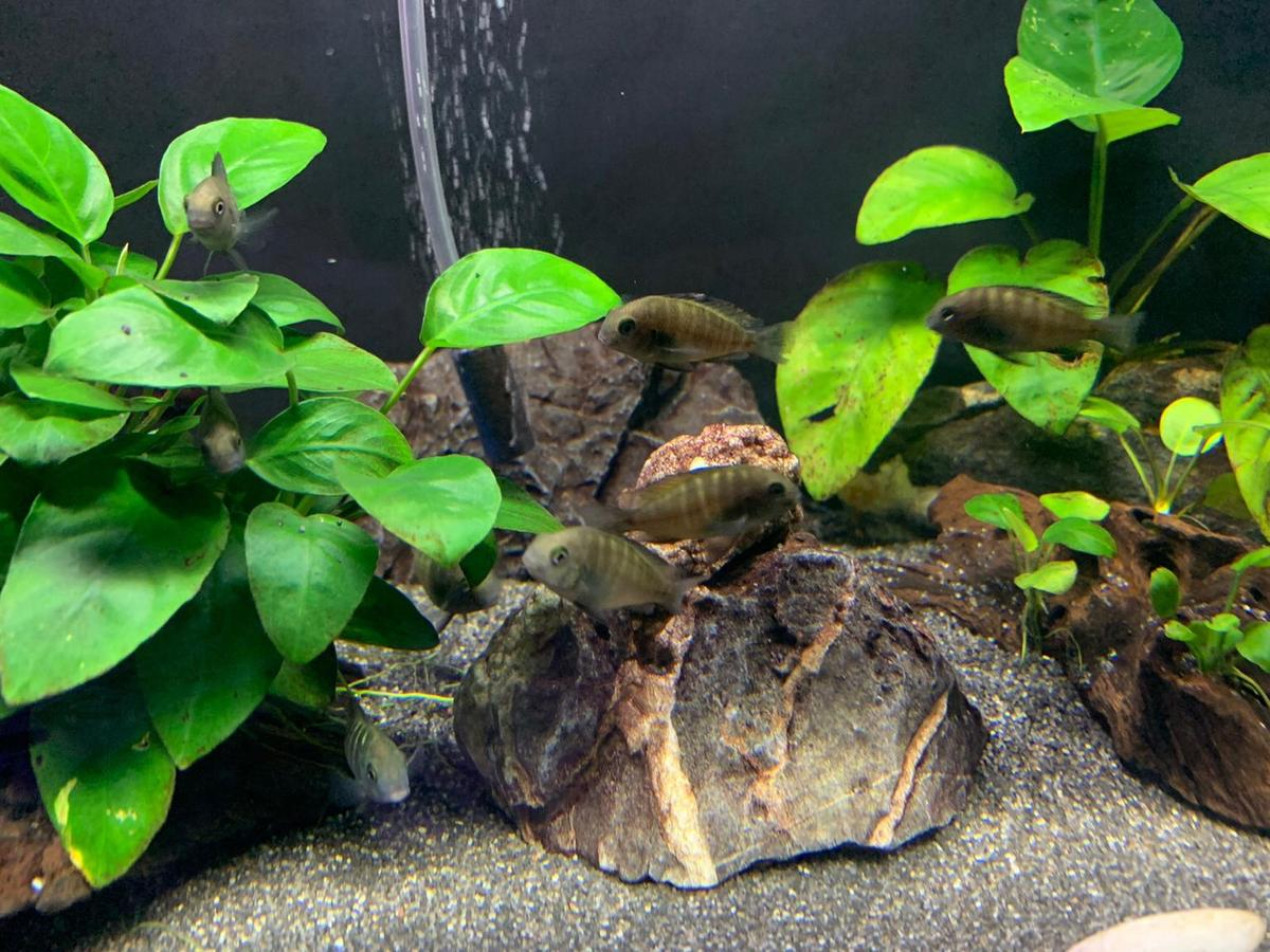 I have 9 tropheus Ikola African Cichlids for sale. Bred by myself. They are between 2.5 Cm to 4 Cm . Colouring up nicely. They will look like picture 1 when they're older. Picture 1 is the mum. All healthy and eating well on top quality spirulina flakes. Not often seen in shops so grab them while you can. £7.50 each or £60 for all 9. Ideally sold as a group. As best kept in groups.  Collection from Gillingham Kent