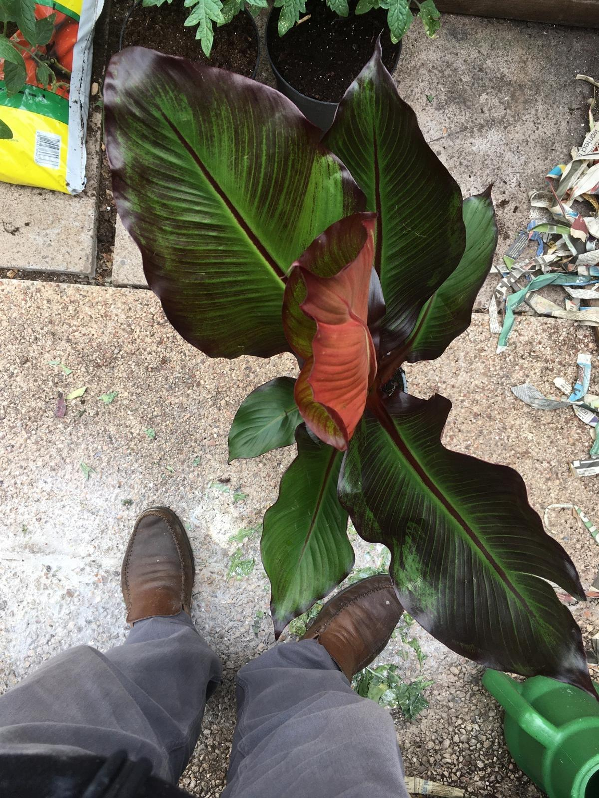 Fantastic looking banan palm super coloured foliage deep red to mauve also known as red banana, Ideal for growing in a pot or planted in garden